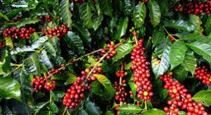 कफीको उत्पादन बढ्दै, निर्यात घट्दै